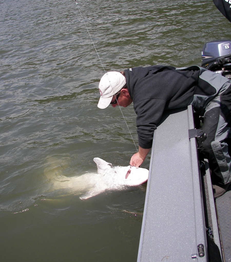 Shad sturgeon 50 kingfisher adventures for Columbia river fishing guides
