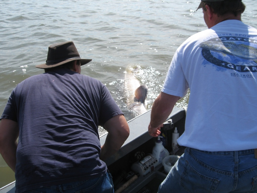 Shad sturgeon 80 kingfisher adventures for Columbia river fishing guides